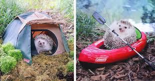 Azuki the Pygmy <b>Hedgehog</b> Packs his <b>Tiny</b> Bags and Goes Camping