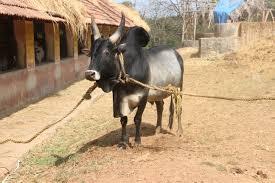 Kangayam cattle
