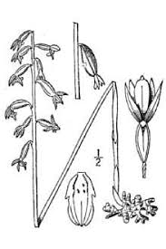 Plants Profile for Corallorhiza trifida (yellow coralroot)