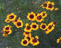Images & Illustrations of calliopsis
