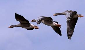 Image result for greylag