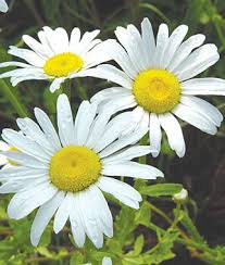 Image result for marguerite flower