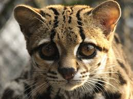 Image result for margay cat