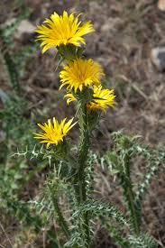 Scolymus grandiflorus – Wikipedia