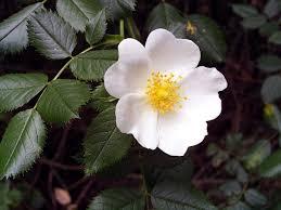 Rosaceae - Wikipedia