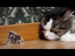 Funny <b>Cat and Mouse</b> Videos | Tom and Jerry Real Life Best funny ...