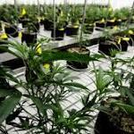 Ohio medical marijuana: 'Racial quota' for grow licenses ruled unconstitutional