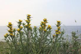 Scolymus grandiflorus Desf. {ID 6973}- Cardogna maggiore - Forum ...
