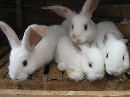 Tips Cara Merawat Kelinci