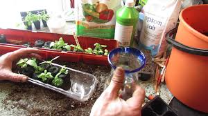 Kitchen Windowsill Herb Garden Growing Kitchen Windowsill Basil In A Watering Tray Peat Pellets