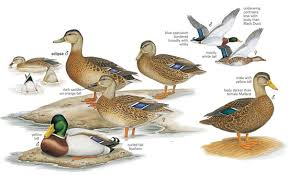 Boost Your Bird Watching   National Geographic amp    s  amp      Mallard Ducks Illustration by Cynthia J  House