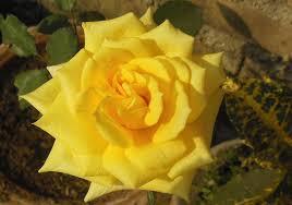 Rosa foetida - Wikipedia, la enciclopedia libre