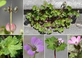 Geranium rotundifolium L. - Sistema informativo sulla flora vascolare ...