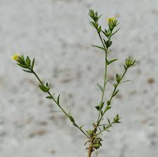 Linum strictum L. - Portale sulla flora del Parco Nazionale dell ...