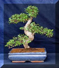 chinese elm bonsai save learn more at home and gardeninginfo chinese elm bonsai tree