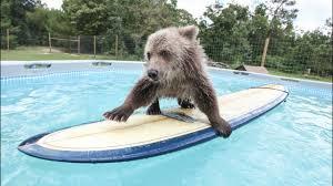 <b>Cute</b> Baby <b>Bear</b> Rides Surfboard - YouTube