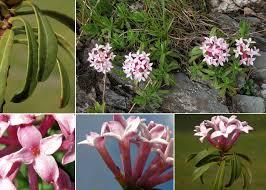 Daphne striata Tratt. - Sistema informativo sulla flora delle Alpi ...