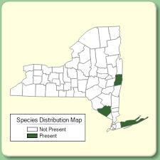 Campanula glomerata - Species Page - NYFA: New York Flora Atlas
