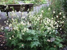 Aconitum lamarckii / Yellow Monkshood - Online Plant Guide