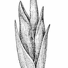 Poa nemoralis (wood blue grass): Go Botany