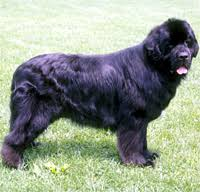 Image result for images of a newfoundland dog