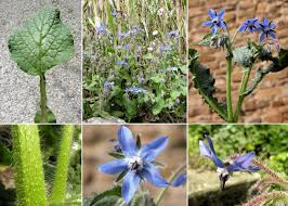 Borago officinalis L. - Sistema informativo sulla flora delle Alpi ...