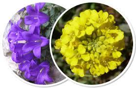 Delphinium dubium (Rouy & Foucaud) Pawl. - Portale alla flora del ...