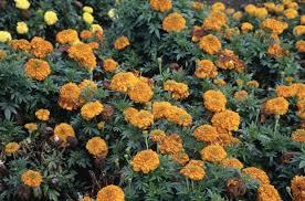 Tagetes erecta [Inca I <b>Orange</b>] (Inca I Series) | <b>African</b> marigold [Inca ...