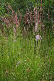 Calamagrostis canescens - Wikipedia, la enciclopedia libre