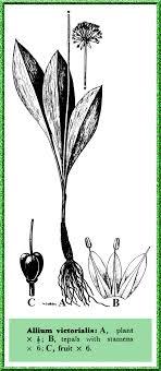 Allium victorialis in Flora of Pakistan @ efloras.org