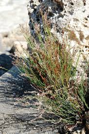 Limonium bocconei - Wikipedia