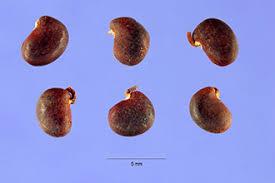 Plants Profile for Robinia pseudoacacia (black locust)
