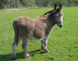 Image result for picture of a donkey