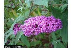 Plants Profile for Buddleja davidii (orange eye butterflybush)