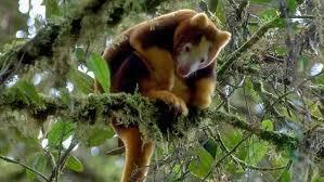 Image result for tree kangaroos