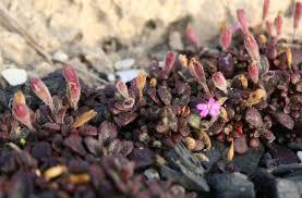 Silene sedoides Poir. | Flora of Israel Online