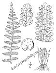 fragrant cliff fern