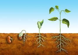 Resultado de imagem para semente