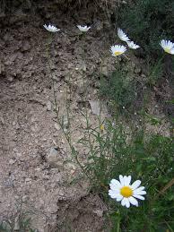 Leucanthemum subglaucum - Wikispecies