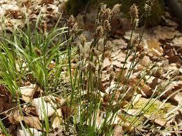 Carex umbrosa - Wikipedia