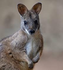 """Résultat de recherche d'images pour """"wallaby"""""""