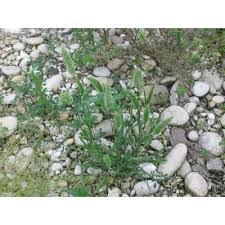 Genere Rostraria - Flora Italiana