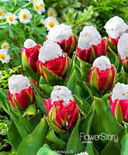 Plant <b>Tulip</b> reviews – Online shopping and reviews for Plant <b>Tulip</b> on ...