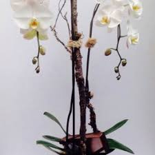 day orchid decor: view details next day delivery  oahu double white phalaenopsis orchid with a decor branch in a birch container and a chocolate box of john kelleybox