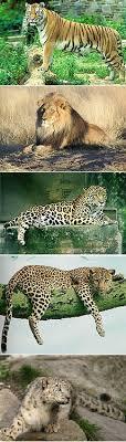 <b>Big cat</b> - Wikipedia