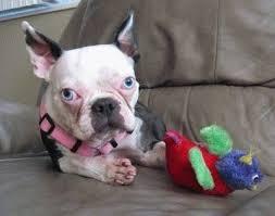 <b>Бостонский терьер</b>: фото собаки, описание породы, цена ...