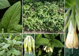 Symphytum tuberosum L. subsp. angustifolium (A.Kern.) Nyman ...