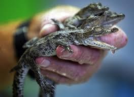 Crocodiles Are Breeding Near a Nuclear Power Plant (No, They're ...