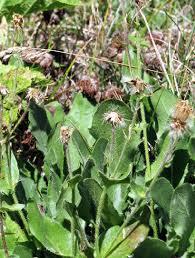 Hieracium petraeum: seeds (photo V. Vladimirov). | Download ...