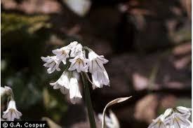 Plants Profile for Allium triquetrum (threecorner leek)